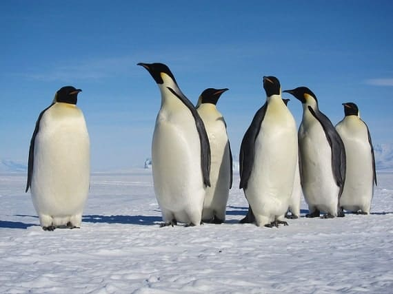 Creature Feature: Emperor Penguin