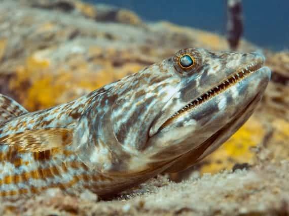 Creature Feature: Reef Lizardfish