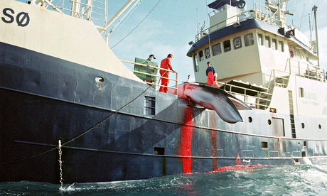should whaling be banned essay Whale hunting should be banned essay:: 6 works commercial whaling essays - commercial whaling is a serious world issue that has always been difficult for.
