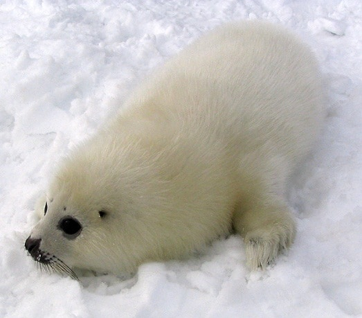 Creature Feature: Harp Seal