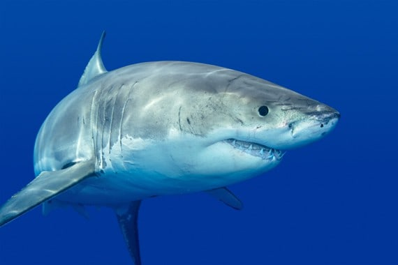 Oceana Fires Back at Flawed Federal Decision not to list Great Whites as Endangered