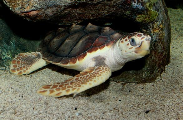 More than 739 Miles of U.S. Coastline Protected for Loggerhead Sea Turtles
