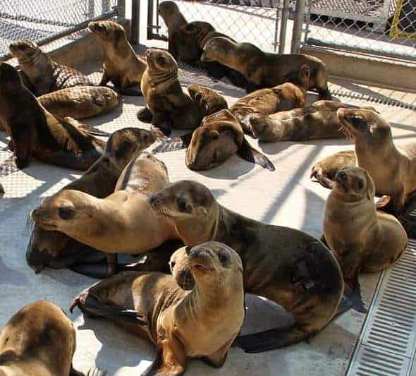 "NOAA declares ""Unusual Mortality Event"" for California Sea Lions"