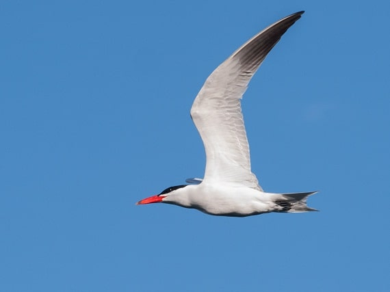 A caspian tern over Elliott Bay, Washington. (Photo: Ingrid Taylar / Flickr Creative Commons)