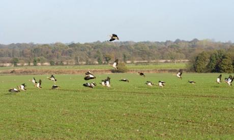 Egyptian geese (Alopochen aegyptiacus) in Filby, Norfolk. Photograph: Joe Blossom/Alamy