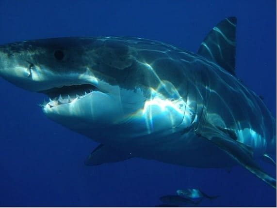 Future of Great Whites in the Hands of California Leaders