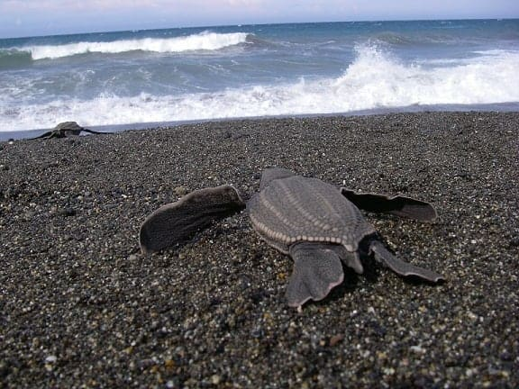 California and Indonesia Urged to Build Relationships to Save Leatherback Sea Turtles
