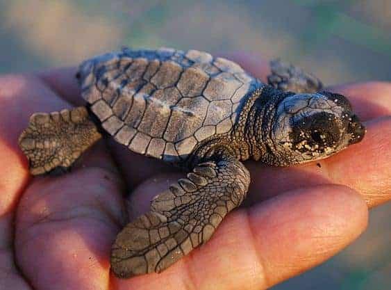 Proposal Will Protect Loggerhead Sea Turtle Habitat in Coastal Waters Off Six States