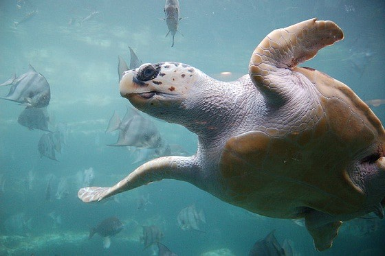 Are We Giving Loggerhead Sea Turtles Enough Protections to Survive?