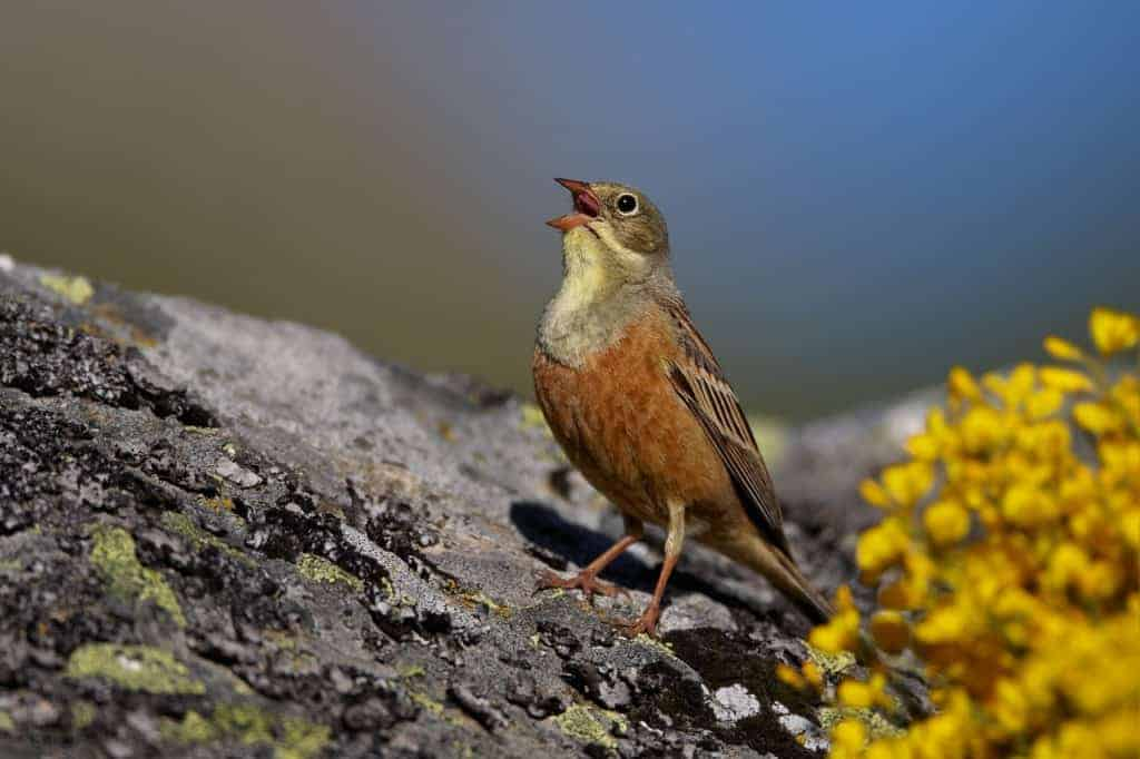 France: LPO takes direct action to liberate poached Ortolans