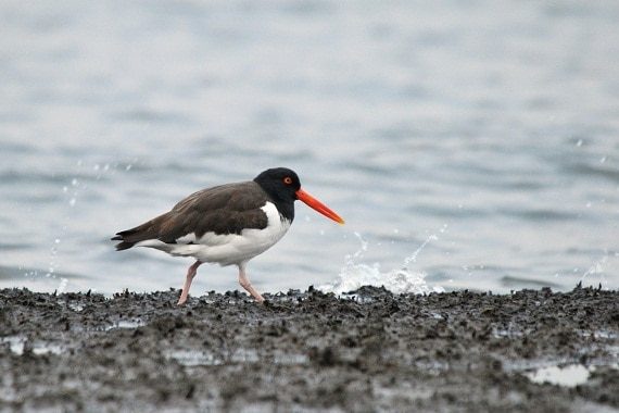 American oystercatcher in Dead Horse Bay, New York. (Photo: Steven Severinghaus / Flickr Creative Commons)