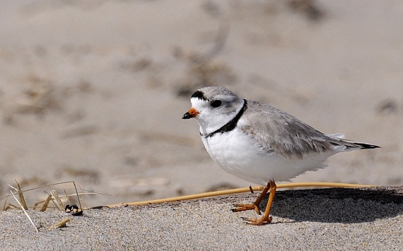 A piping plover in the Parker River National Wildlife Refuge, Massachusetts. (Photo: Matt Poole / USFWS / Flickr Creative Commons)