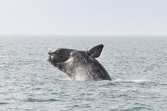 Right Whales Wronged