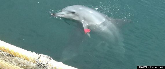 Dolphin Escapes Pen to Reunite with Her Pod After Years in Captivity