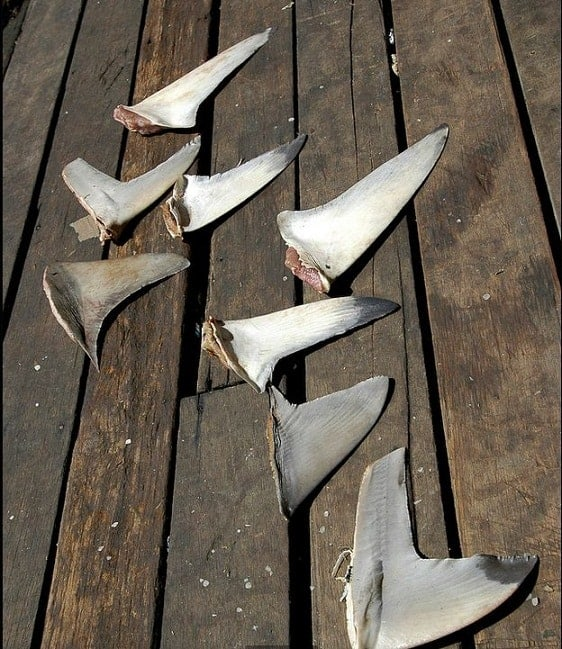 California's Shark Fin Ban Officially in Effect! The Catch Is…