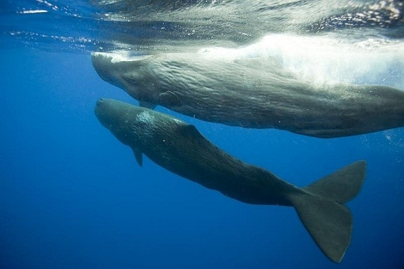 Whales Found to be Crucial for Healthy Ocean Ecosystems