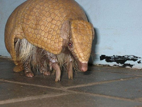 Brazilian Three-banded Armadillo. Photo by: Chris Stubbs/ Creative Commons 3.0