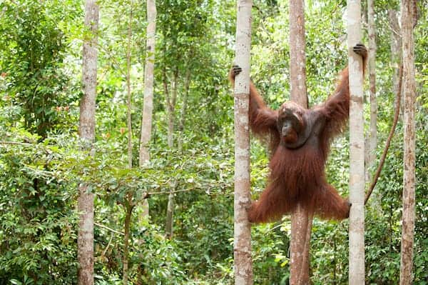 Helping orangutans survive: new project aims to connect habitat fragments in Kalimantan (Part II)