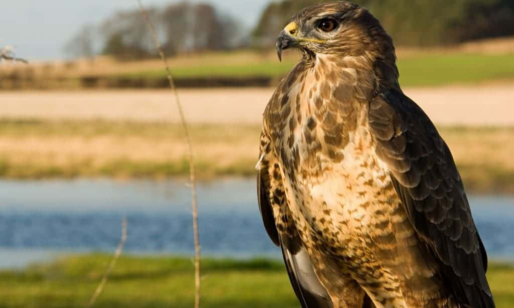 Gamekeeper found guilty of poisoning 10 buzzards and a sparrowhawk