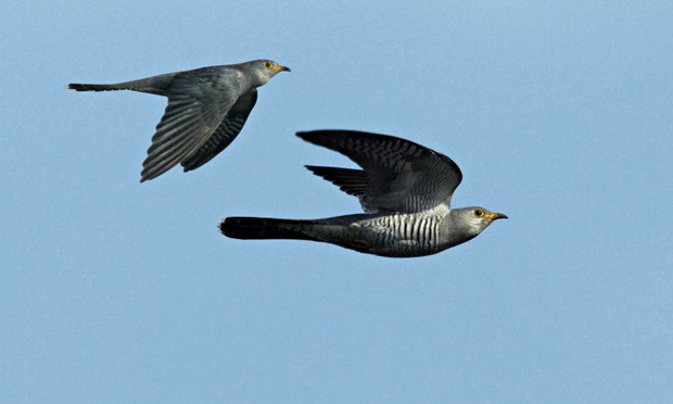 GPS tracking is being used to study migration routes of cuckoos. Photograph: Paul R. Sterry/Alamy
