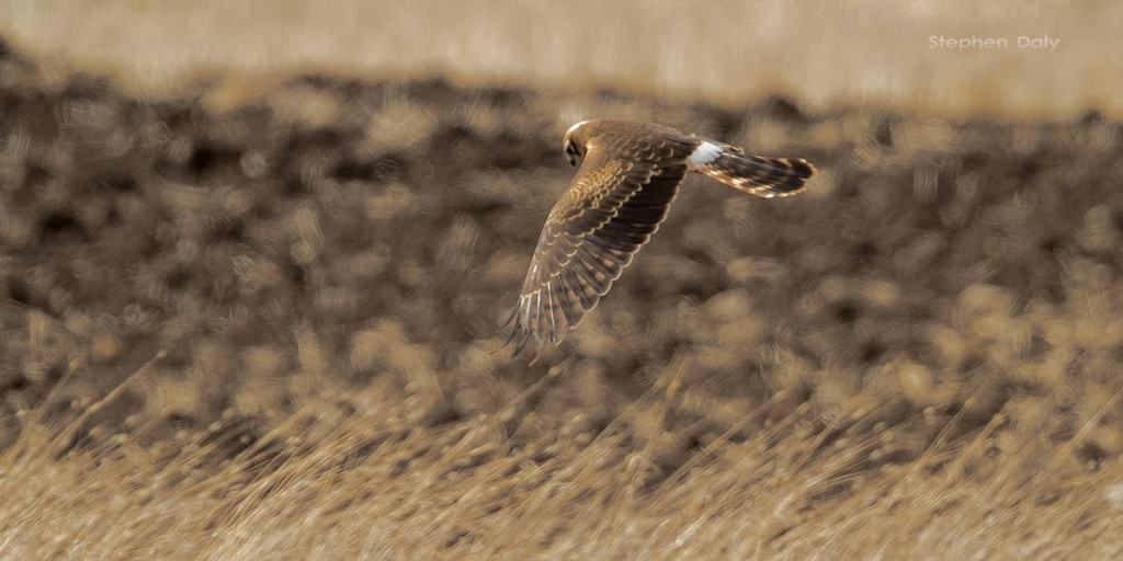 Montagu's-Harrier-1st-year-Spain_2226