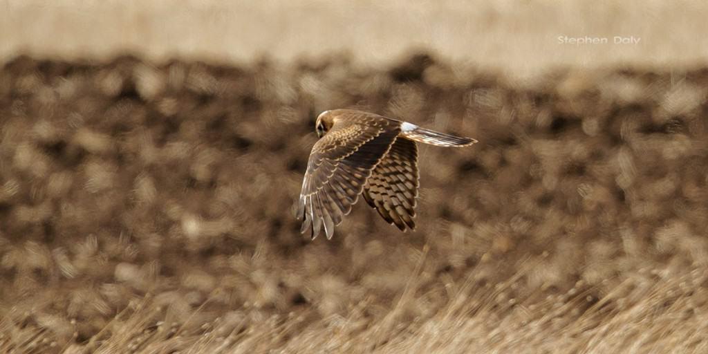 Montagu's-Harrier-1st-year-Spain_2229