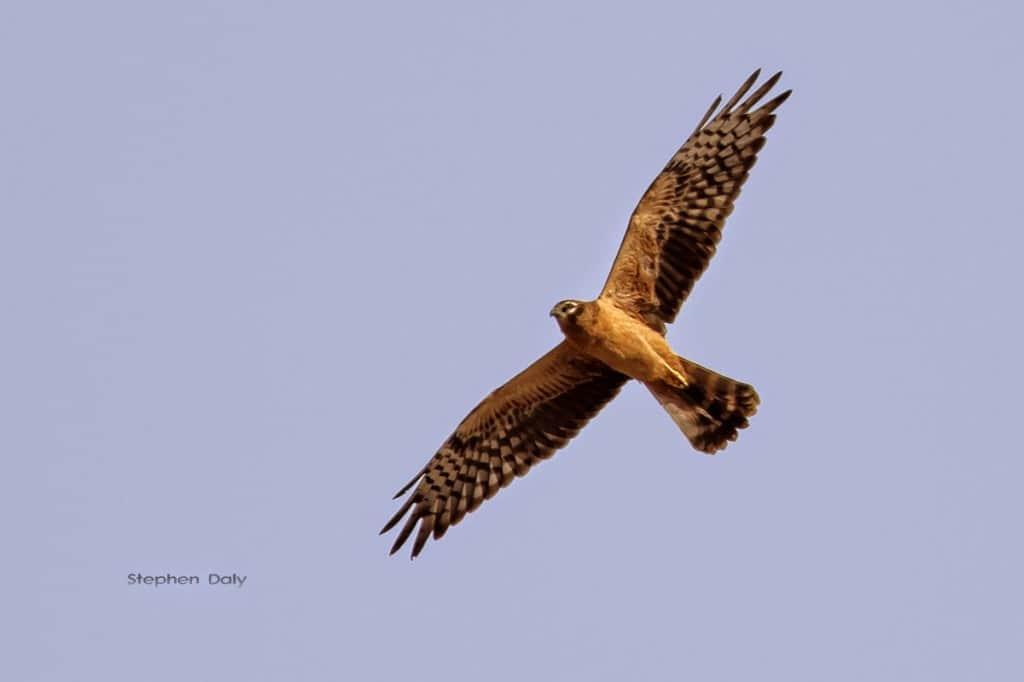 Montagu's-Harrier-1st-year-Spain_2259