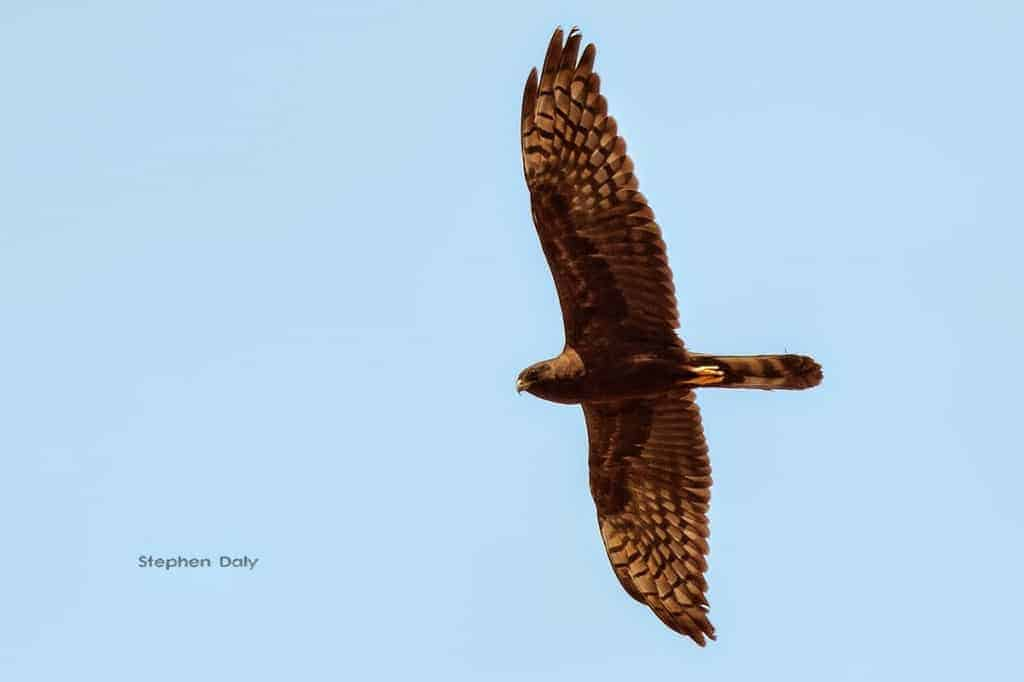 Melanistic Montagu's Harrier and other Raptors