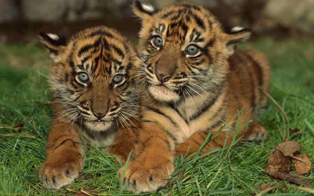 David Attenborough backs £1m project to save Bengal tiger