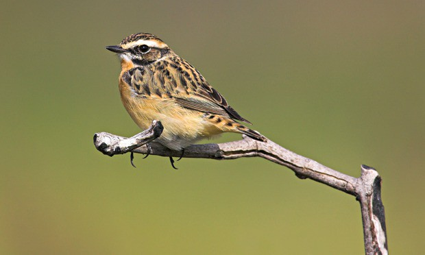 Whinchats are being found in the UK at half the number they were two decades ago. Photograph: Oliver Smart/Alamy