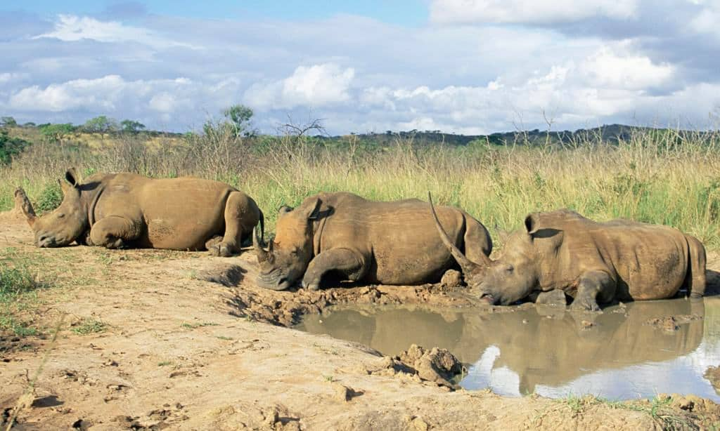 South Africa's Kruger National Park invites bids for 500 white rhinos