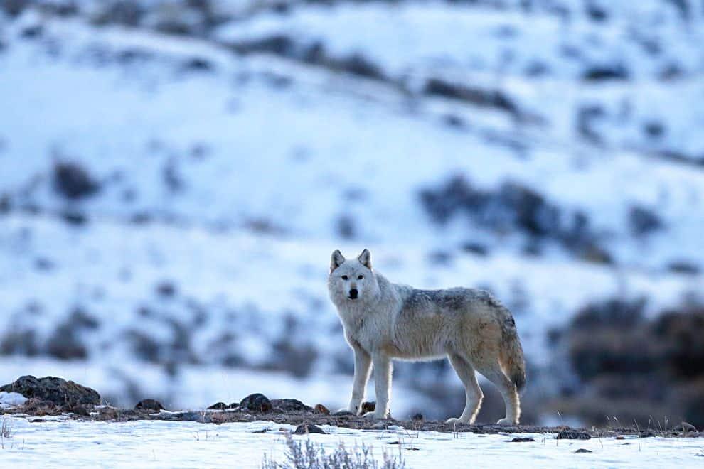 bringing wolves back to yellowstone