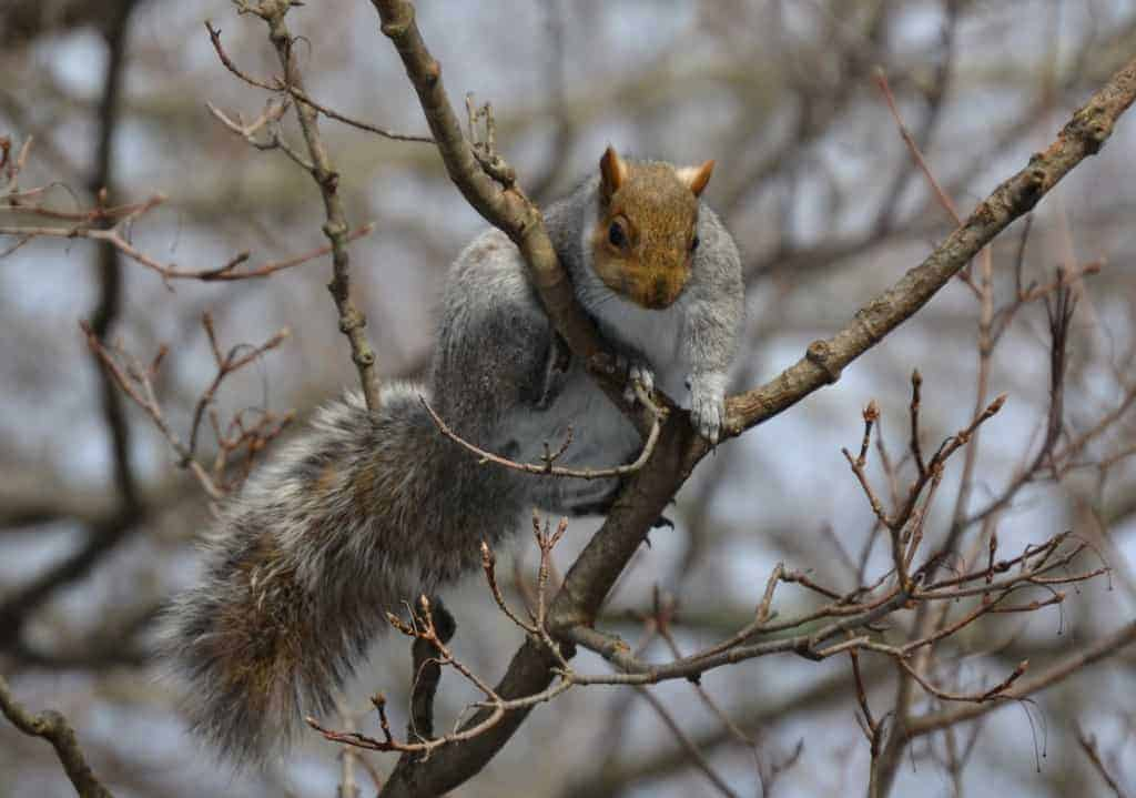 POLL: Should the European Union squirrel cull be stopped?