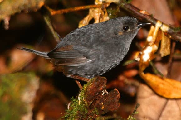 Bahian Mouse-Colored Tapaculo: New Bird Species Discovered in Brazil