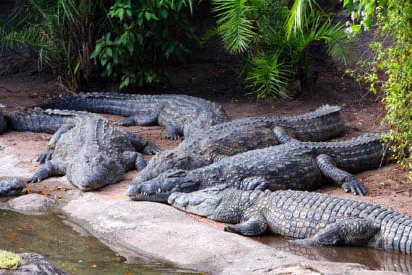 A group of Nile crocodiles in Lake Buena Vista, Florida. Image credit: David R. Tribble.