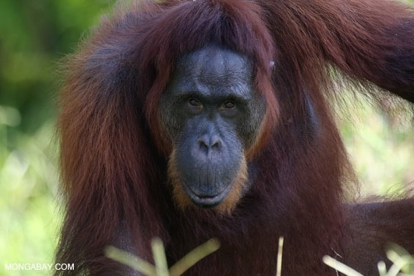 Marooned in shrinking forests, Bornean orangutans hang on as disaster looms (Part I)