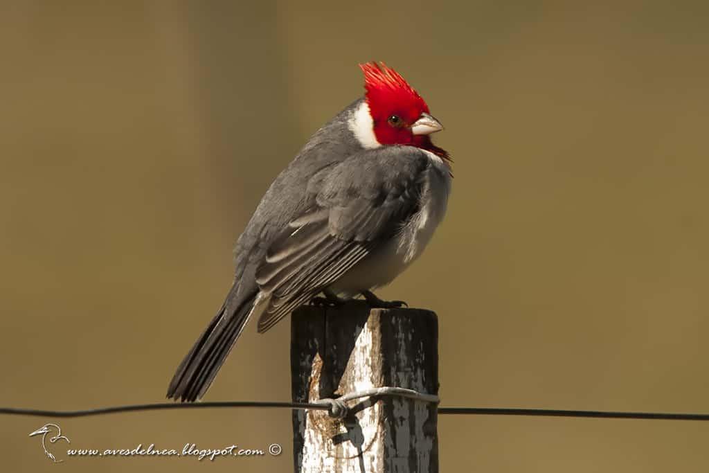 Cardenal común, Red-crested Cardinal, Paroaria coronata