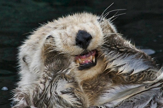 Sea Otter Teeth Stronger than Human's