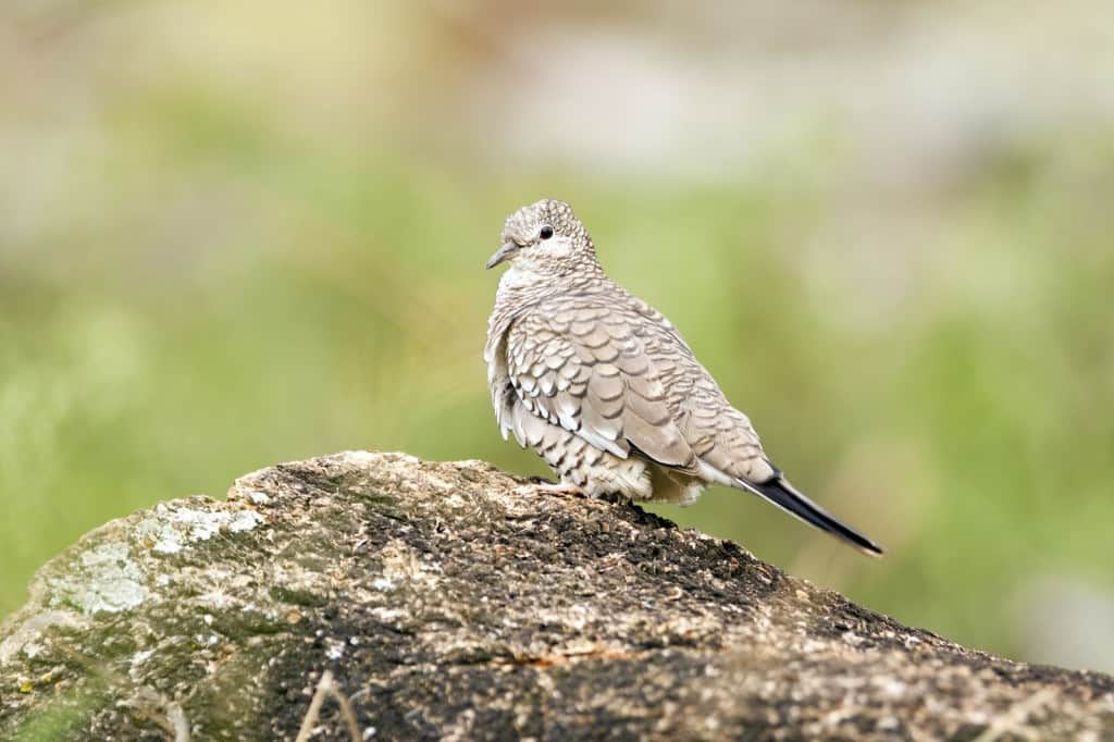 Birding in Brazil – fourth of four days photographing in Serra da Canastra National Park