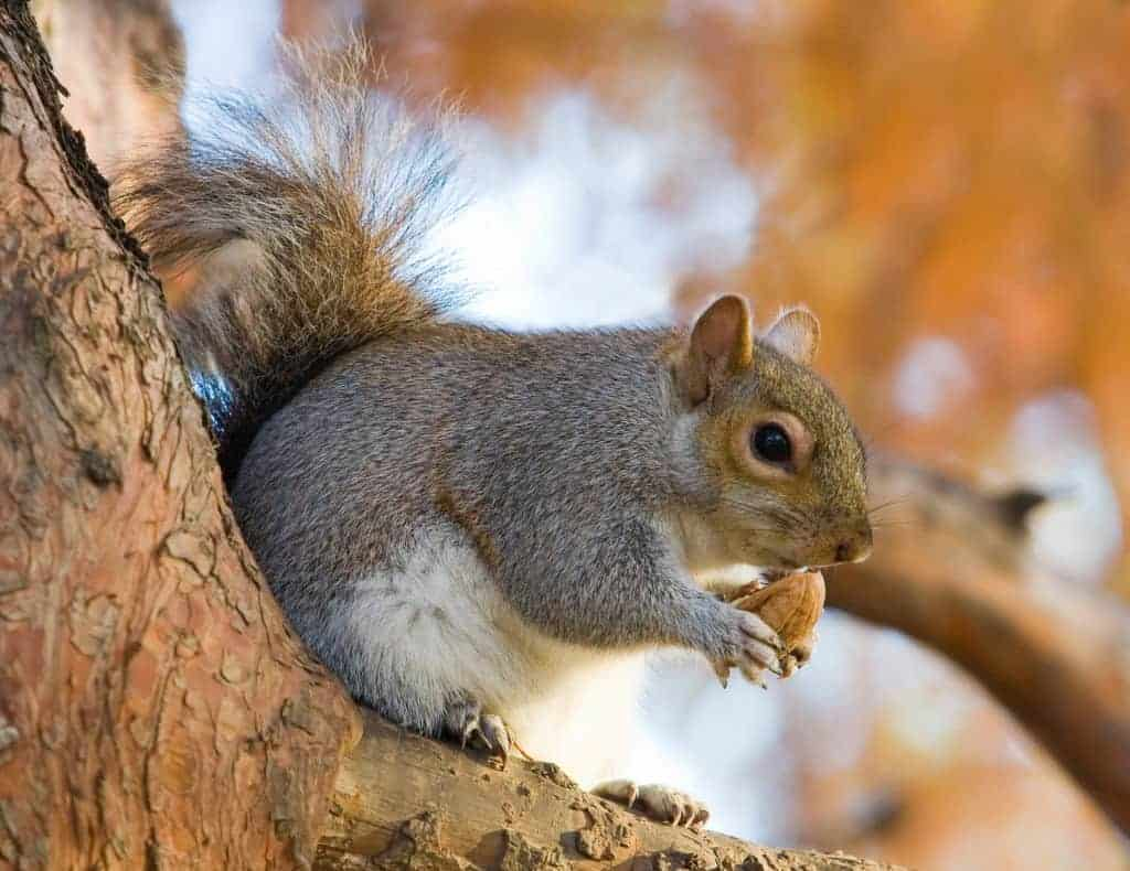 POLL: Should the Wildlife Trust's campaign to slaughter grey squirrels be stopped?