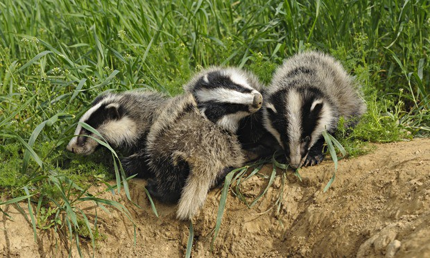 Badger cull cost over £3,000 for each animal killed