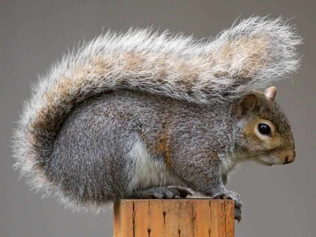 POLL: Should the grey squirrel be culled to protect red squirrels?