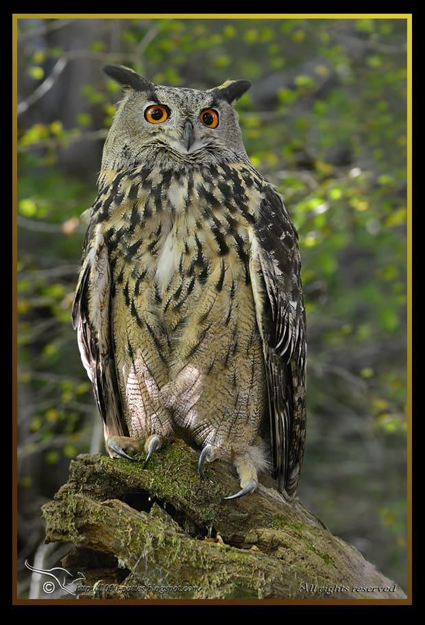 Aninimal Book: The Eurasian eagle owl » Focusing on Wildlife