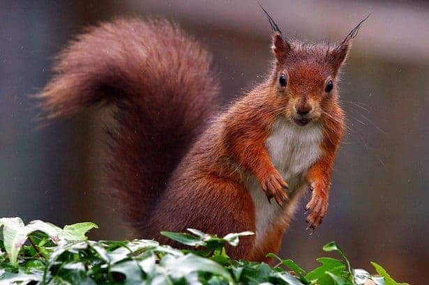 Gray Squirrels versus Red Squirrels – The Facts