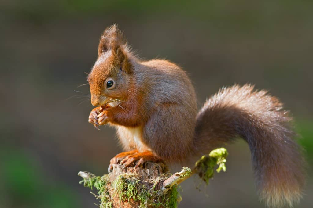Gray Squirrels Versus Red Squirrels The Facts Focusing On Wildlife