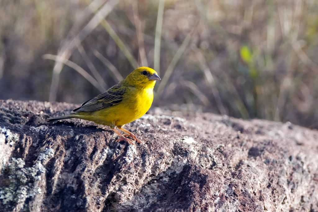 Birding in Brazil – second of four days photographing in Serra da Canastra National Park