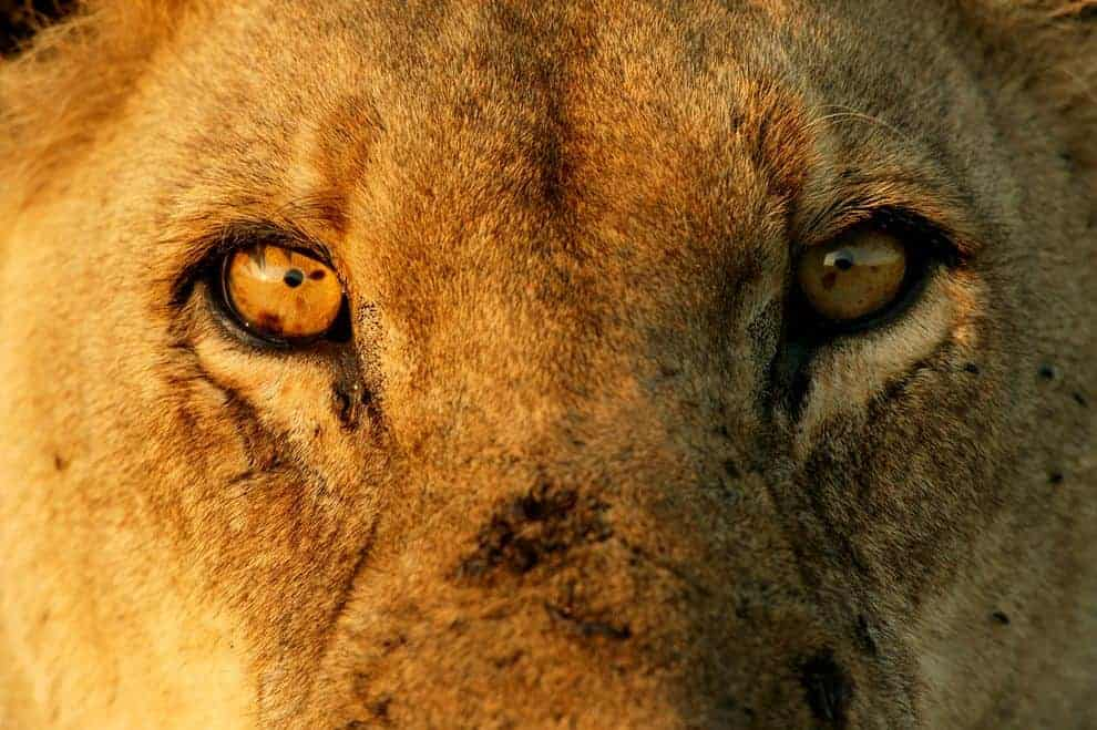 Africa's Lions May Be Deemed Threatened in U.S. – Will It Help?