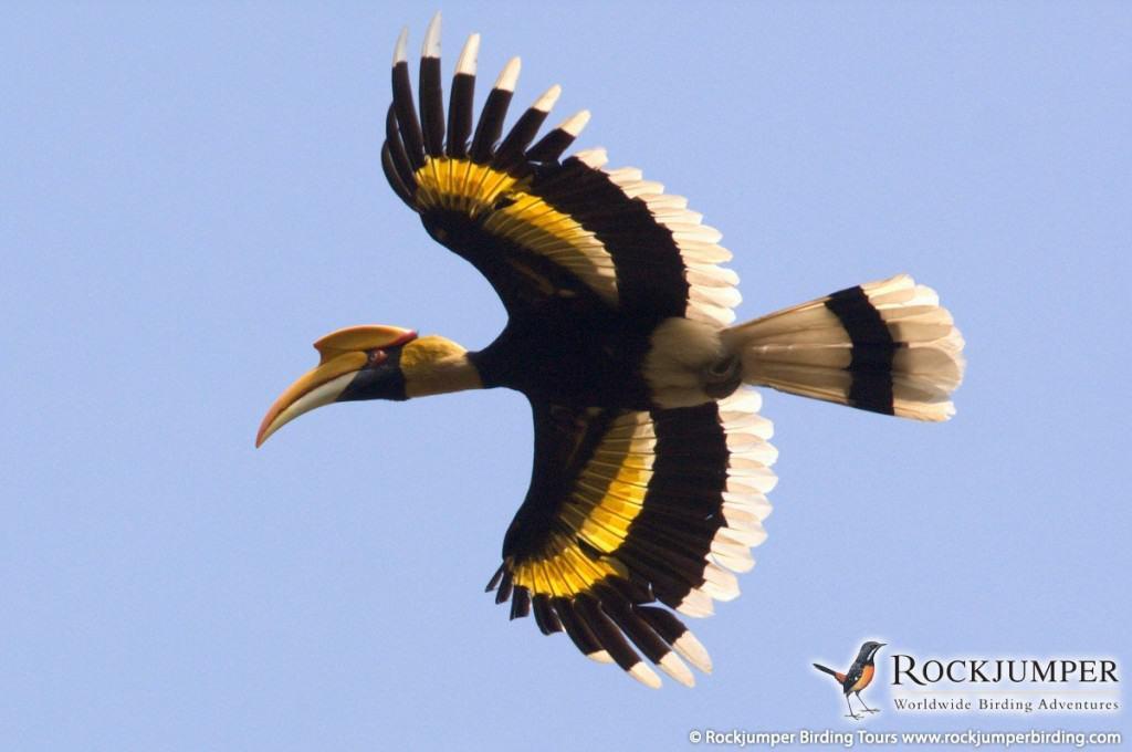 A bird's eye view of hornbills in northeast India