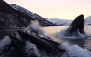 Video: Humpback Whales Cause Quite the Surprise As They Hunt for Herring
