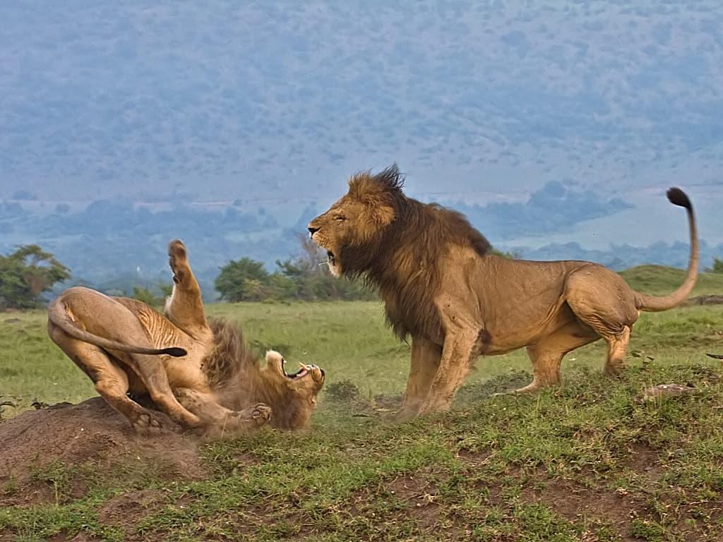 mg 7388 lions fighting